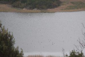 Međunarodno zimsko prebrojavanje ptica vodarica (IWC) prvi puta na Mljetu