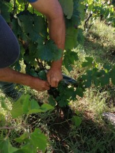 NP Mljet utrostručio subvenciju uzgoja autohtonih mljetskih sorti vinove loze