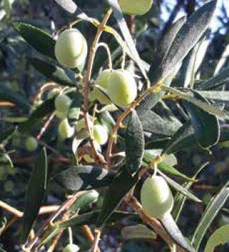 Poziv uzgajivačima maslina s područja NP Mljet