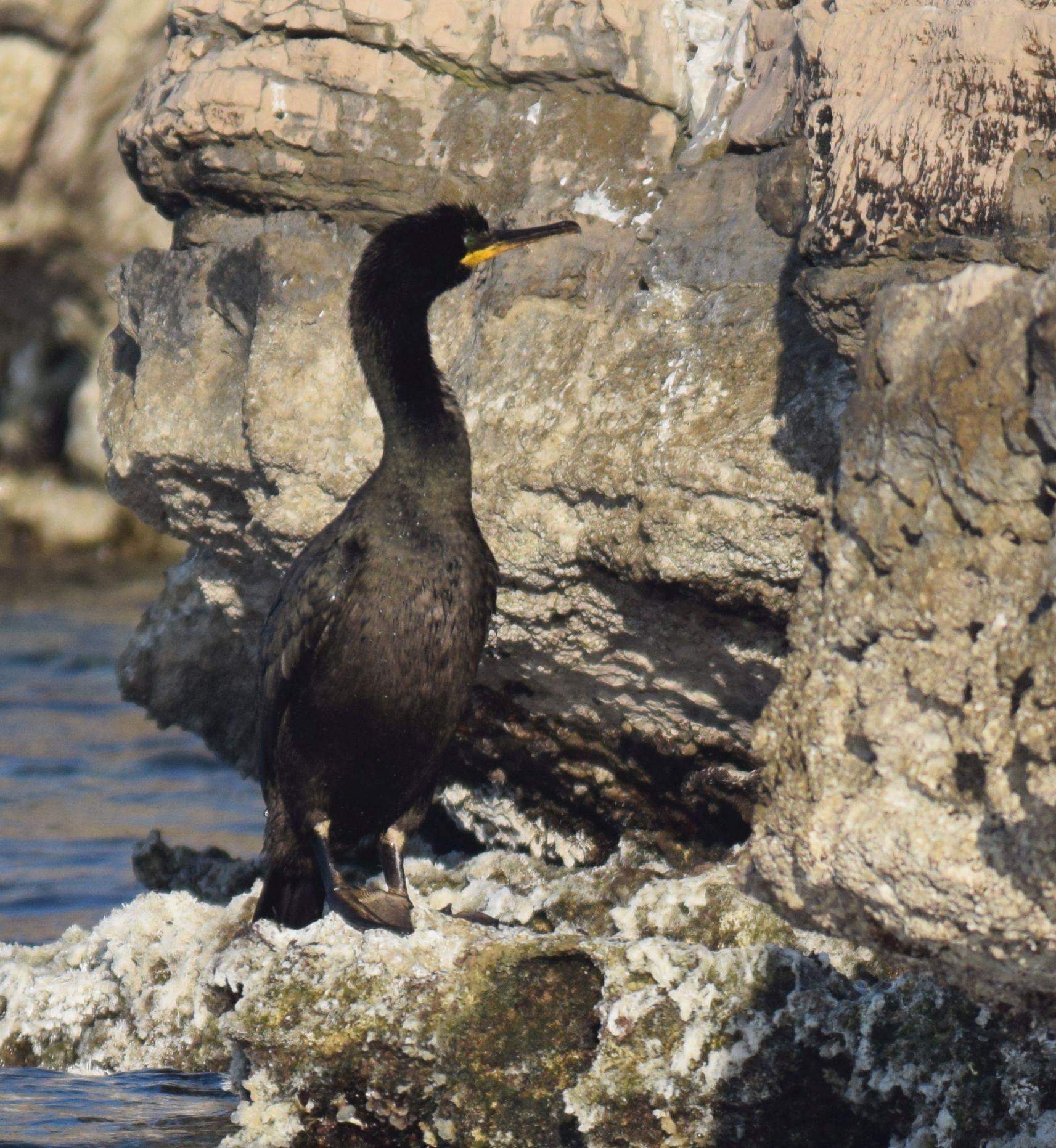 Obavljen monitoring ptica značajnih za NP Mljet