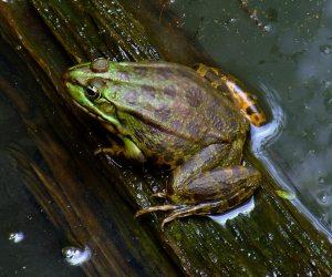 Svjetski dan žaba