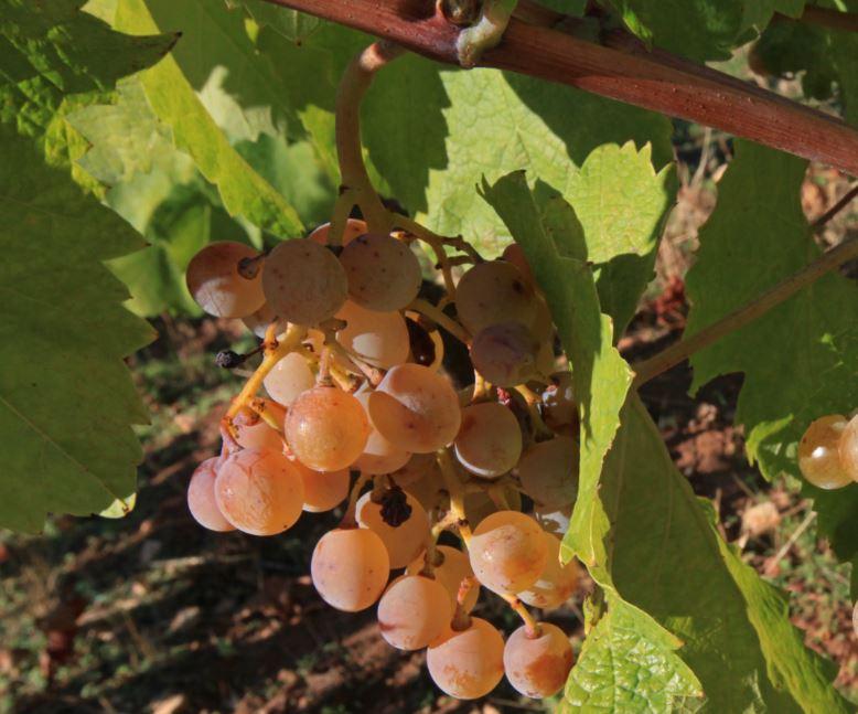 Poziv na dodjelu diploma i prigodno druženje mljetskih vinogradara i vinara